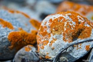 Litchen on the rocks